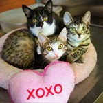 Valentine 3 kitties crop
